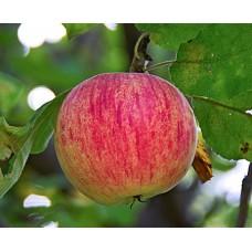 "Яблоня ""Осенняя полосатая"""
